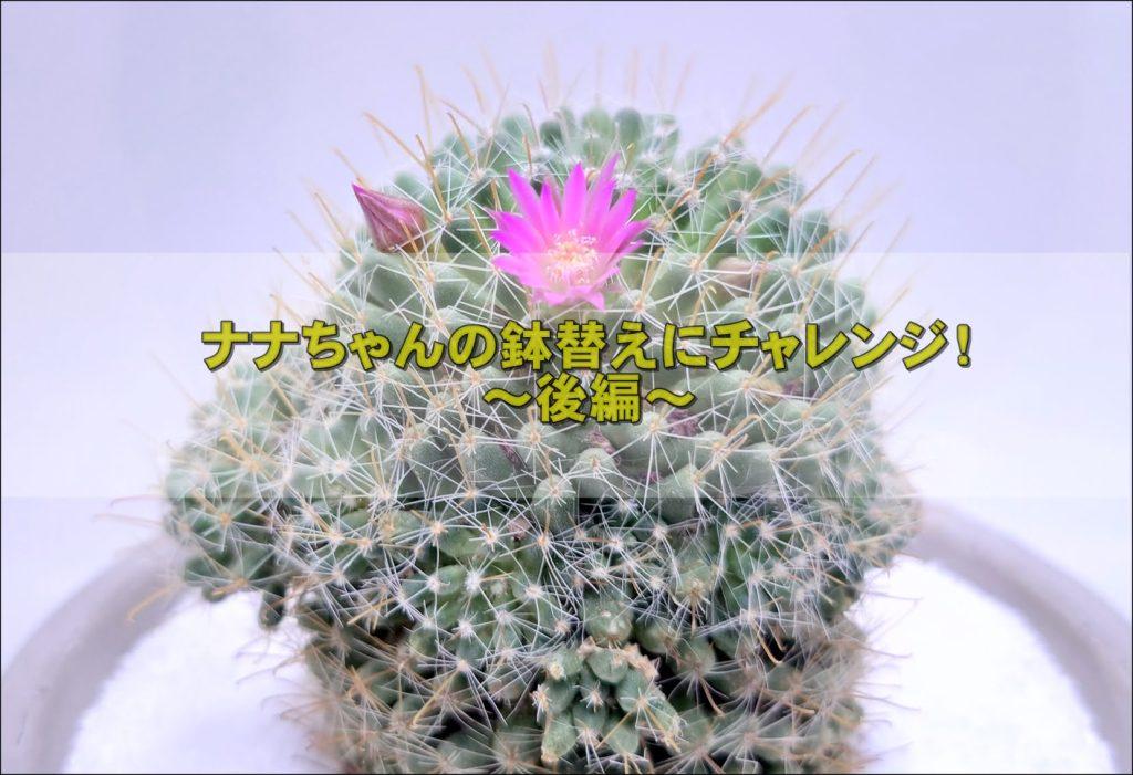 20210522 131516 1 - サボテン(七々子丸)の鉢替えにチャレンジ!~後編~